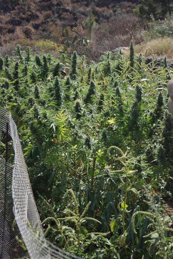 Cannabis vegano en agricultura de conservación