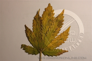 Oidio de la marihuana