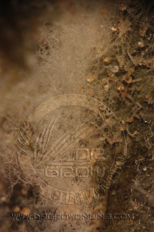 Oidio marihuana, Sphaerotheca macularis
